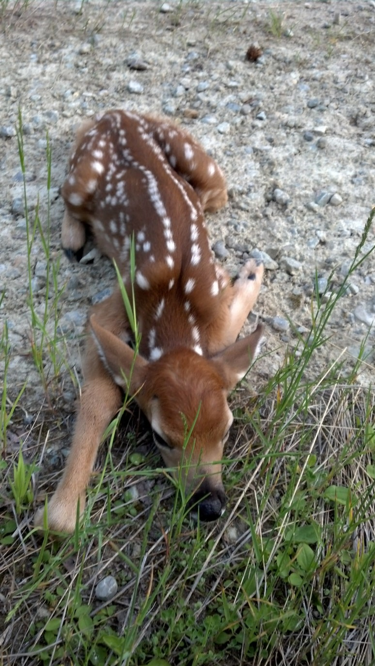 Injured baby deer after Ferndale.  It was pretty sad, its mother was 30 feet away in the trees.  I left feeling sorry for it.