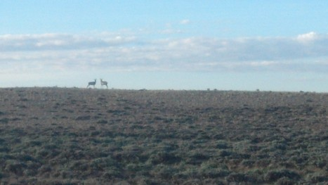 Antelope in the Basin, saw hundreds of these animals out there.